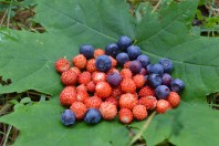 Berries from forest